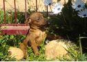 Preciosos cadells de mini pinscher, - En València, Valencia